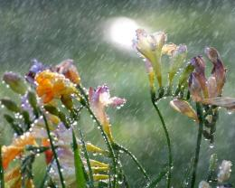 Download wallpaper Freesia in the summer rain: 891