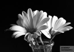 Daisy Black And White 17404 Hd Wallpapers 749