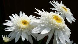 White Daisy HD Wallpaper 849