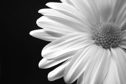 Daisy Black And White 18755 Hd Wallpapers 1524