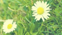 Download White Daisy Drops wallpaper 232580 1547