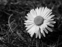 Daisy Black And White 27118 Hd Wallpapers 1945