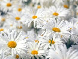 Plentiful Oxeye Daisies 1146
