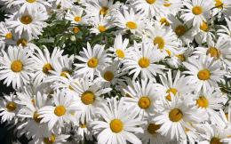 White Daisies HD Wallpapers | Hd Wallpapers 924
