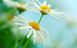 White Yellow Daisy Flowers HD Wallpapers 1984