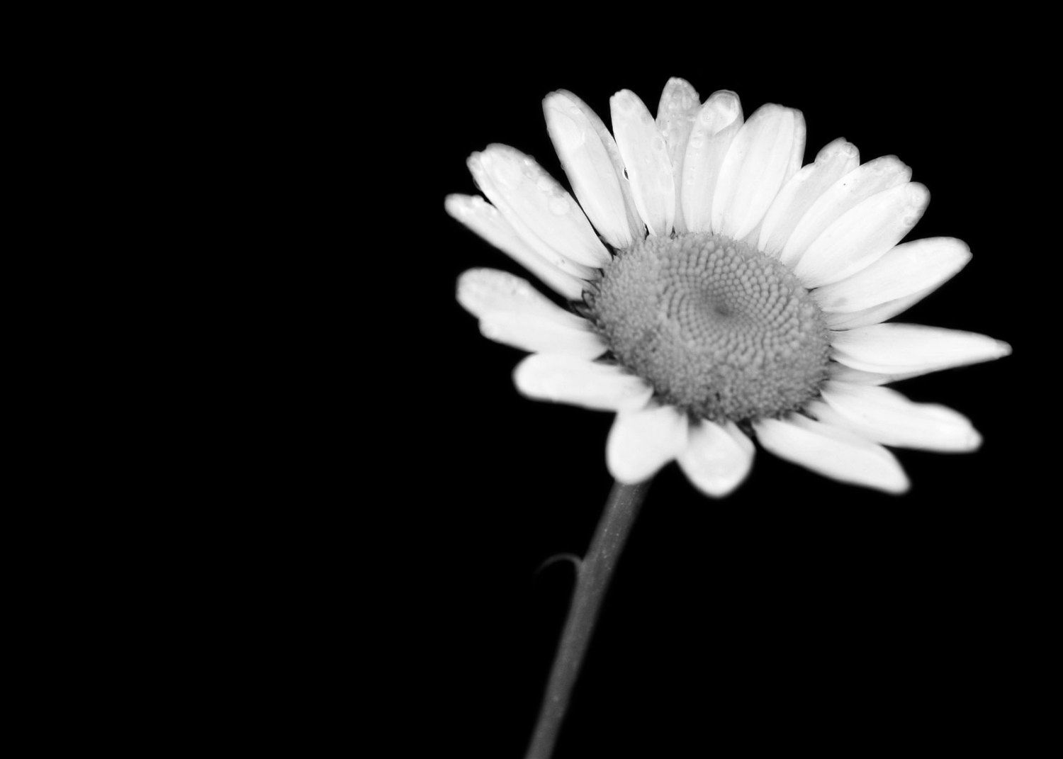 18 Daisy Black And White 14581 Hd Wallpapers 444 :: White ...
