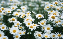 Colors White Daisy Wallpaper 1023