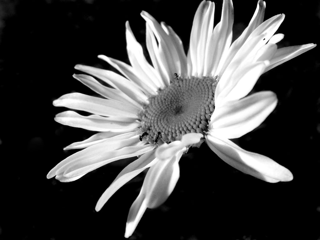 black and white daisy related keywords black and white