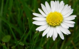 White Daisy 2560x1600 Wallpaper 445