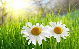 white daisies full hd wallpaper White Daisies HD Wallpapers 1946