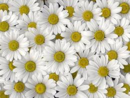 ws white daisies high definition wallpaper White Daisies HD Wallpapers 1449