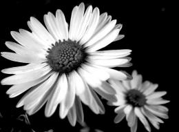 Daisies photography black and white flowers 469