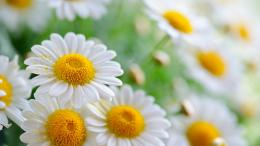nature white daisies flower high definition wallpaper White Daisies HD 1925