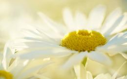 White Yellow Daisy Flower HD Wallpapers 955