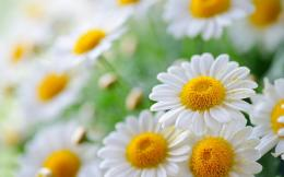 White daisies wallpaper , Flowers Wallpaper, Daisy Wallpaper, HD 1103