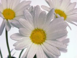 Delicate Daisies 369
