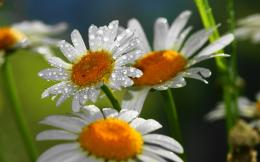 White Daisy Hd Wallpapers 1920×1200 Wallpaper 867
