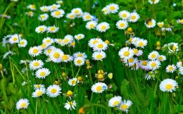 White Daisies HD Wallpapers | Hd Wallpapers 1360
