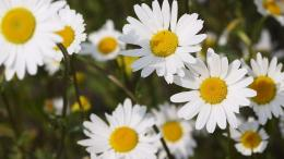 daisies wallpapers 2560x1440 mrwallpaper com 932