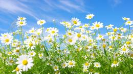 daisy flower hd wallpaper categories 2560 background sizes daisy 1166