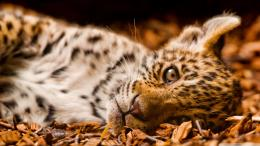 Feline cub wild cats hd big nature wildlife HD Wallpaper 440