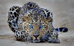 You are viewing a Wild Cats Wallpaper 951