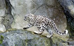 Swow leopard on the rock 1058