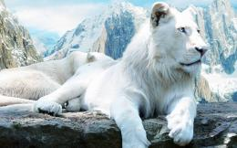 White lion wallpaper 652