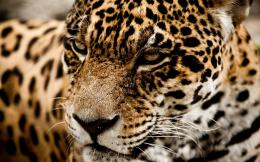wild cat muzzle 1080p wallpaper tags cats 1080p jaguar muzzle wild 1693