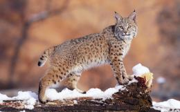 wild cat background image wild cat beautiful picture wild cat 1821