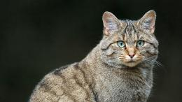 Wild Cat Wallpapers HDAnimals 1720