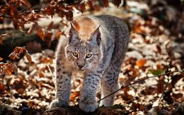 wild cat forest nature wild cat hd wallpaper wild cat 869