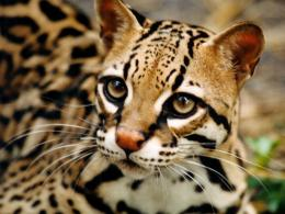 Wild Cat HD Wallpapers 939