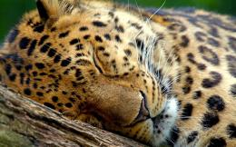 Big Wild Cat Cheetah Sleeping on Tree HD Images 1092