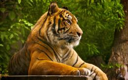 Animals Lions Tigers Wild Cats Beautiful Tiger HD Wallpaper 1578