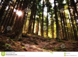 in the fir forestSun rays through the fir trees illuminate the path 656