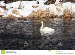 Trumpeter Swan In Winter Royalty Free Stock PhotosImage: 34200938 617