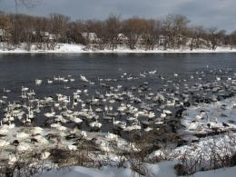 Thousands of once endangered trumpeter swans spend their winters on 1438