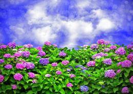 Colorful flowers sky clouds hydrangeas HD Wallpaper 1847