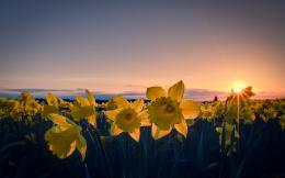 daffodil wallpaper 4 1098