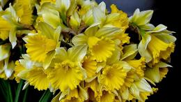 Daffodils spring yellow flowers nature 1262