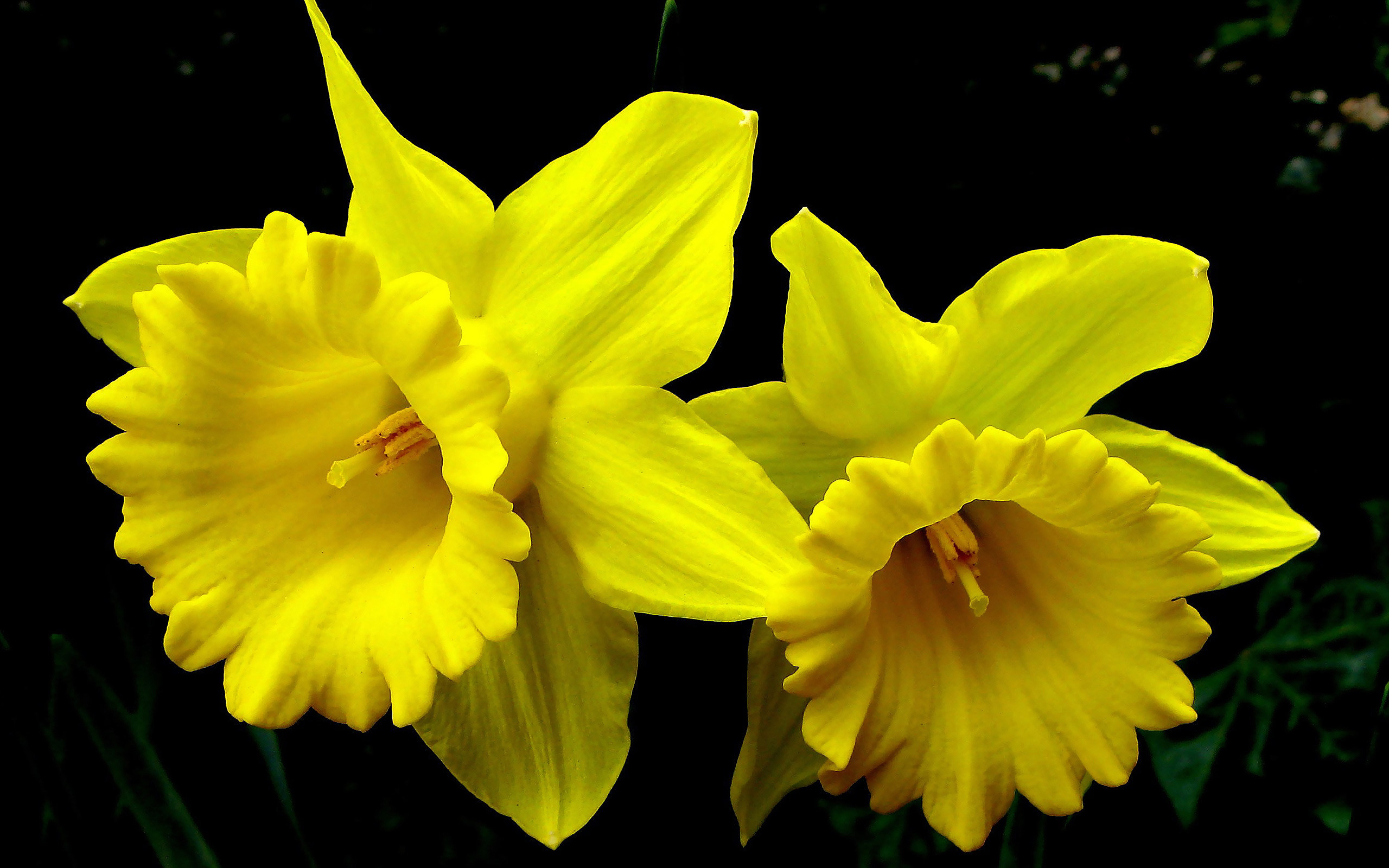 Yellow Daffodils Wallpapers Pictures Photos Images 1037