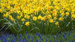Daffodils Wallpaper 1920x1080 Nature, Daffodils, Yellow, Flowers 1892