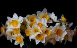 daffodil wallpaper 3 1016