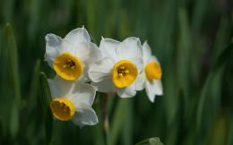daffodil wallpaper 11 294