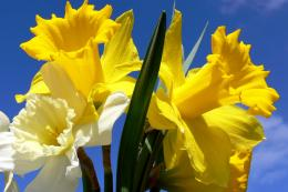 daffodils flowers wide hd wallpaper download daffodils flowers images 1429