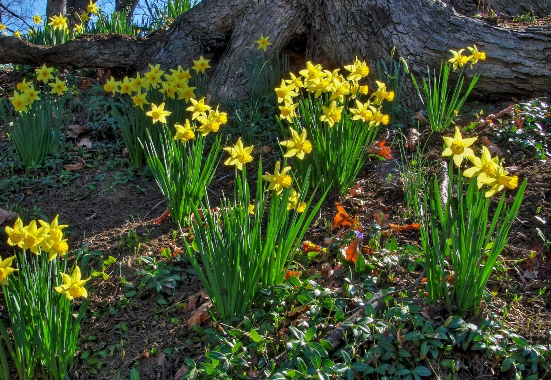 Daffodils Flowers Sunny Spring Tree Shadow HD Wallpaper 1084