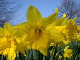 Daffodil wallpapers hd 1261