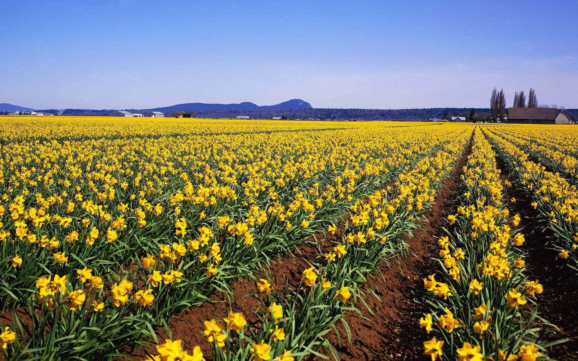 Daffodils Flowers HD Wallpapers 1341
