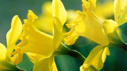 Daffodils flower HD wallpaper 1738